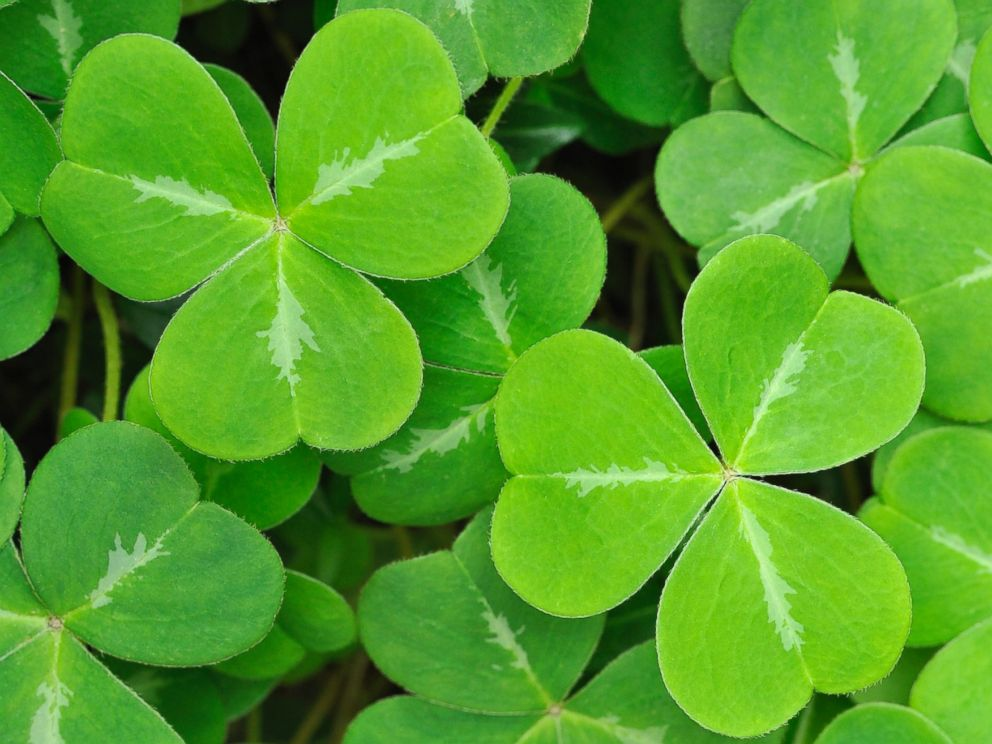 The three-leafed clover, also known as the shamrock, is said to have been used by St Patrick to describe the Holy Trinity to Irish pagans.